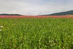 Mohnblütenwanderung